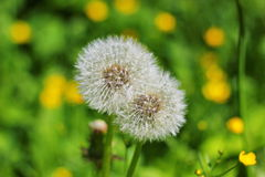 Two dandelion Royalty Free Stock Photography