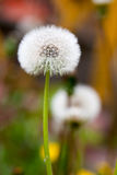 Two Dandelion seeds outside close up macro Stock Images
