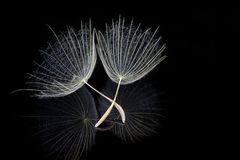 Two dandelion seeds. With reflection on black background extreme macro Stock Images