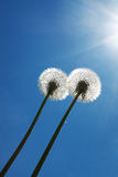Two dandelions Royalty Free Stock Images