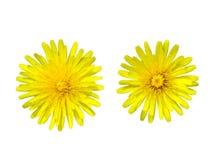 Two dandelions Stock Photo