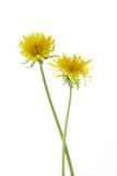 Two dandelions Stock Images