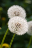 Two dandelions Royalty Free Stock Photography