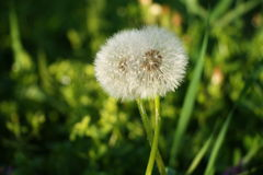 Two dandelions in a big embrace Stock Photo