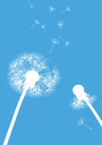 Two dandelions on blue background- one whole and s Stock Photo