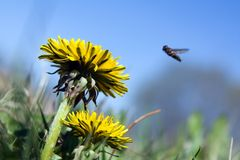 Two dandelions and fly. Over them Stock Photos