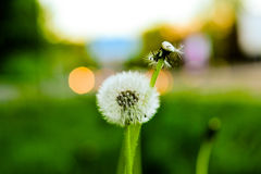 Two dandelions in front of evening background Royalty Free Stock Images