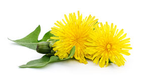 Two dandelions with leaves. Royalty Free Stock Images