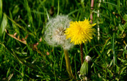 Two dandelions. One white, one yellow Stock Photography