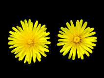 Two dandelions over black Stock Photography