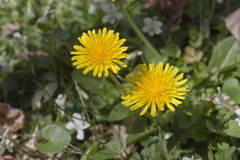 Two Dandilion Flowers Growing Close Together Royalty Free Stock Images