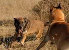 Two dangerous dogs. Two purebred belgian shepherds: aggressive dogs in a field royalty free stock image