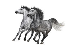 Two dapple-grey horses in motion on white background Stock Photography
