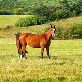Two dark bay horses grazing on a field Stock Photography