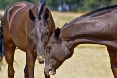 Two dark brown horses on the field Royalty Free Stock Images