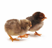 Two dark chickens Stock Images
