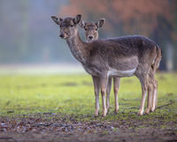Two dark colored female Fallow deer. Dama dama on a clearing in the forest and looking in the camera Stock Photography