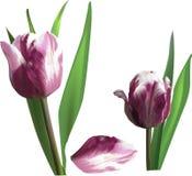 Two dark pink tulip flowers and single petal Stock Photos