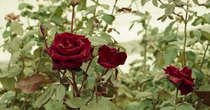 Two dark red roses in the park. Blooming rose bush in autumn set of footages.  stock footage