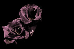 Two dark roses isolated on black Stock Photo