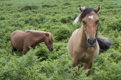 Two Dartmoor Ponies on Dartmoor, England Royalty Free Stock Images