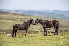 Two stallions in the Dartmoor National Park royalty free stock photography