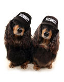 Two Dashunds with security baseball caps Stock Photo