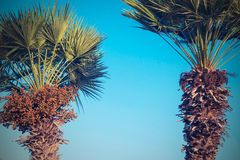 Two date palm against the bright blue sky Stock Images