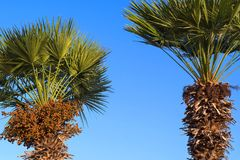 Two date palm against the bright blue sky Stock Photos