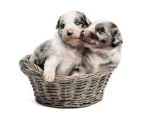 Two 21 day old crossbreed puppies playing in a basket Royalty Free Stock Image