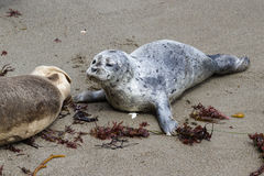 Two day old seal pup Stock Photo