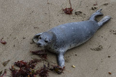 Two day old seal pup Stock Photos