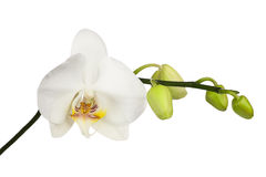 Two day old white orchid isolated on white background. Stock Image