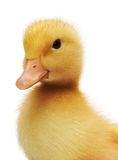 Two days old easter duckling looking cute Stock Image