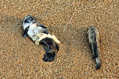 Two Dead Fish on sandy beach. Two Dead Fish on sandy beach taken closeup royalty free stock images