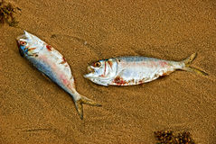 Two dead fishes Royalty Free Stock Photos