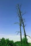 Two dead trees. Killed in lightning strike Stock Image