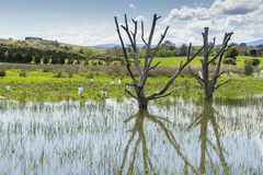 Two dead trees in a pond Royalty Free Stock Images