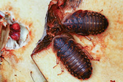 Two Death's head cockroach  feeding on apple Royalty Free Stock Photography