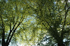 Two deciduous trees Stock Photos