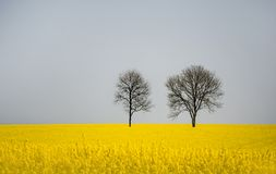 Two leafless trees in a rape field. Two deciduous trees in a rape field Stock Photo