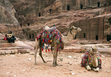 Two decorated camels, Petra in Jordan. PETRA, JORDAN - January 10: two decorated camels and drover playing a stringed musical instrument on January10, 2014 in Stock Photography