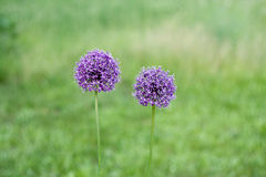 Two decorative bow purple flower on a  background. Two decorative bow purple flower on a green background Stock Photos