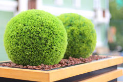Two decorative green shrubs in shape of ball in wooden flowerpot. In summer cafe Royalty Free Stock Photography