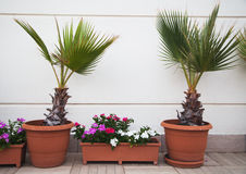 Two decorative palms Royalty Free Stock Images