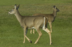 Two Deer. In fall time Stock Image
