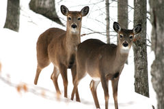 Two Deer stock image