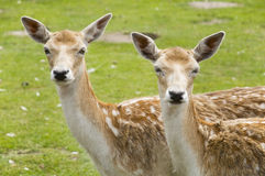 Two deer Royalty Free Stock Photos