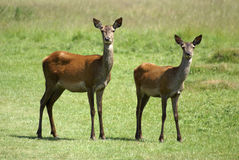 Two Deer royalty free stock photography