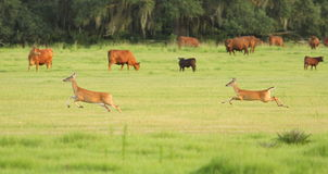 Two deer bounding through a cow pasture Royalty Free Stock Photos